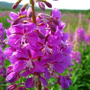 willow-herb_05