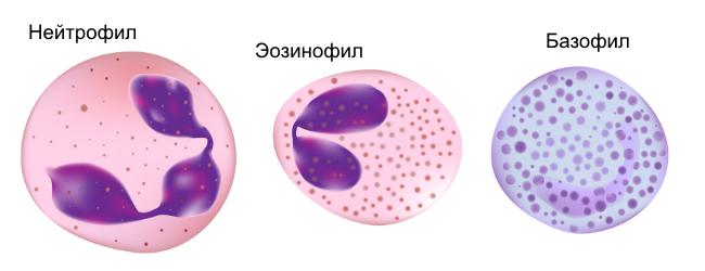 клетки-крови-анализ