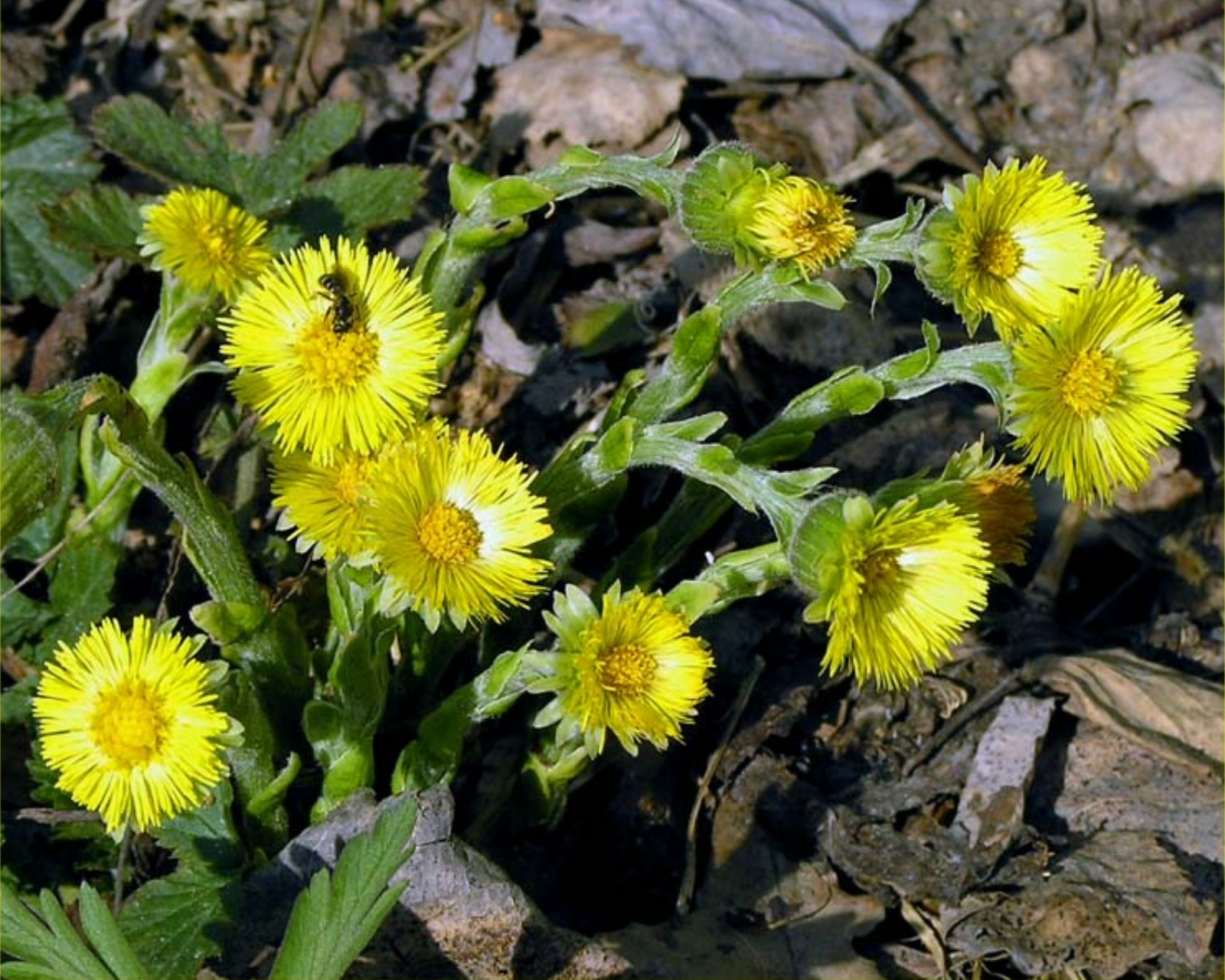 цветки-мать-и-мачехи