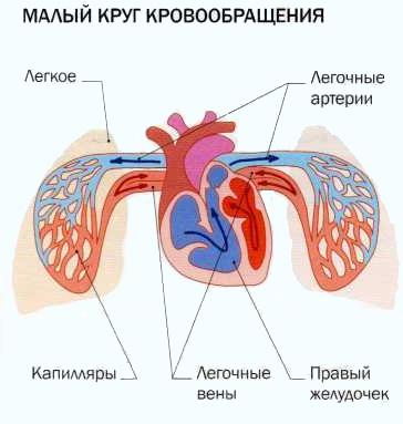 malyj-krug-krovoobrashheniya