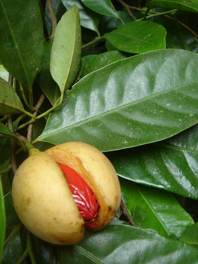 nutmeg-myristica-fragrans