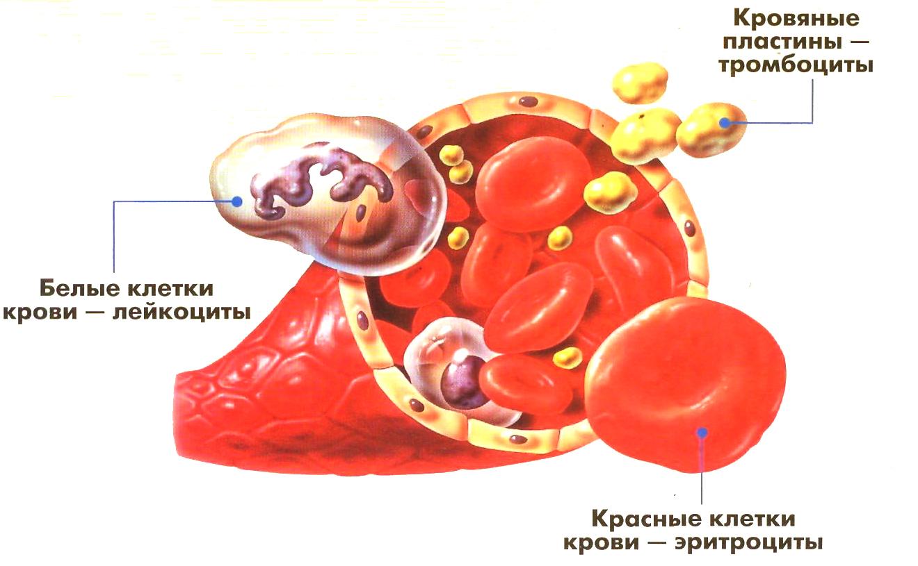 схема на общий анализ крови