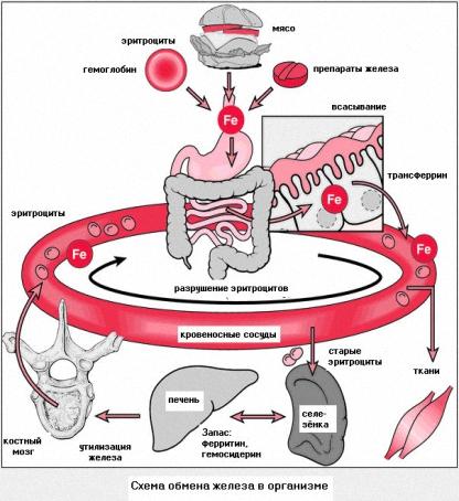 При беременности гемоглобин повышен