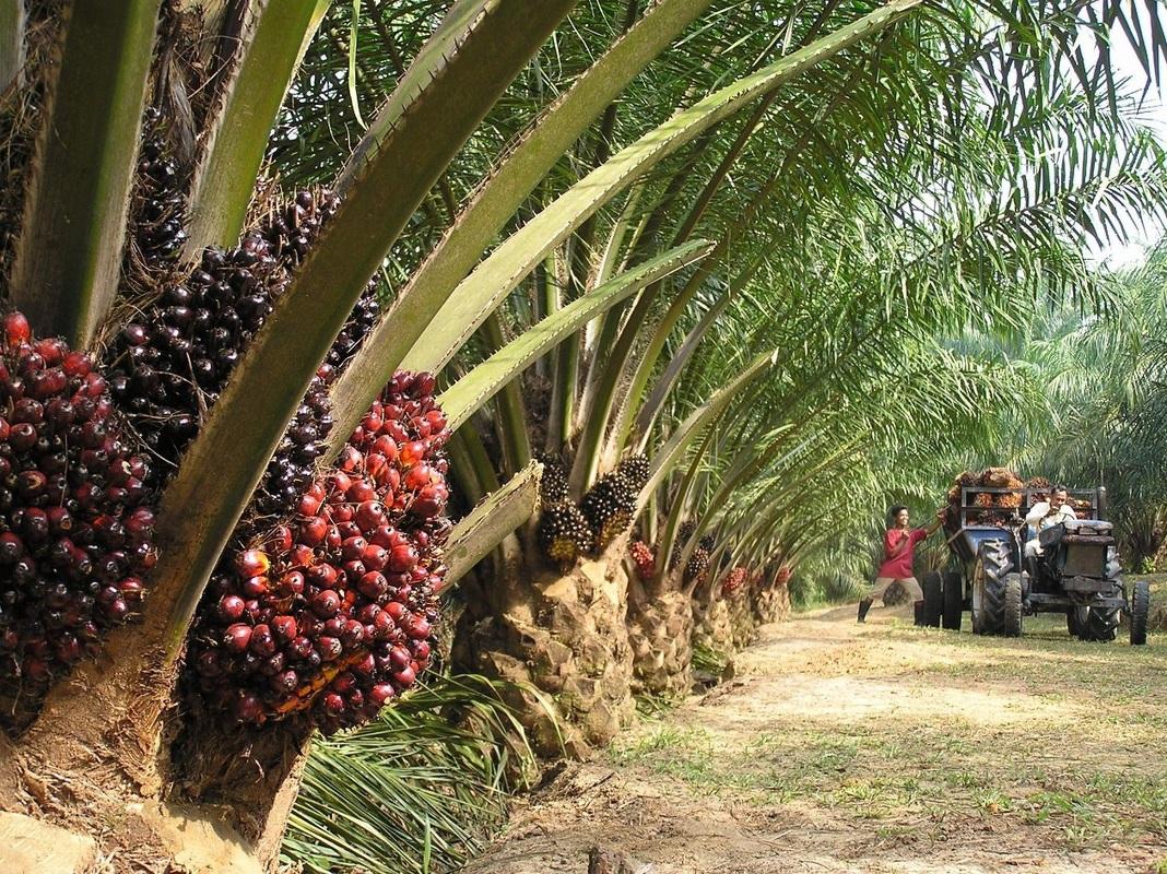состав пальмового масла