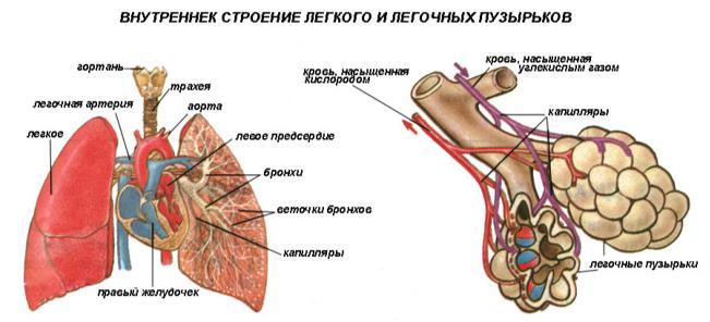 Анатомия и физиология легочной системы