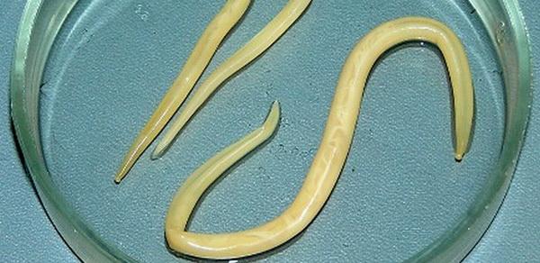 6-круглые черви