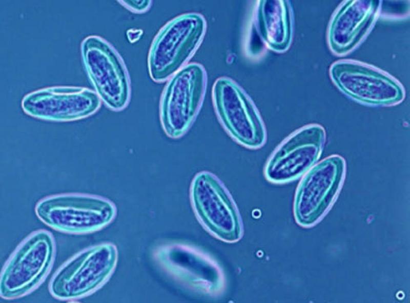 Анализы на энтеробиоз