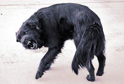 Симптомы бешенства у животных
