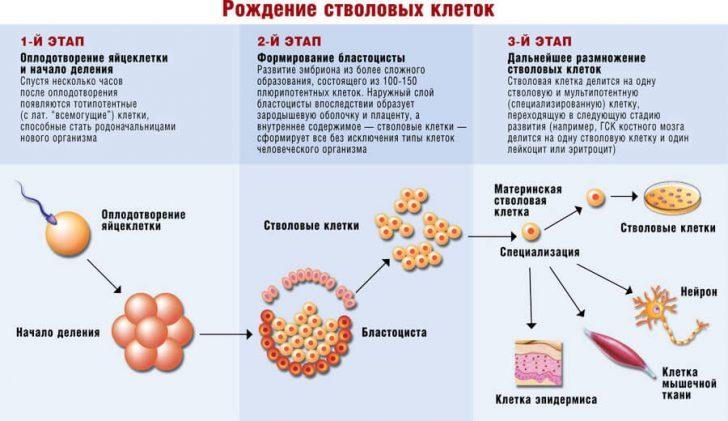 Понятие и особенности стволовых клеток