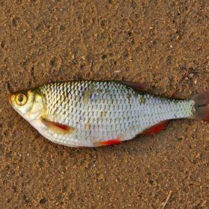 parazyty v rybe