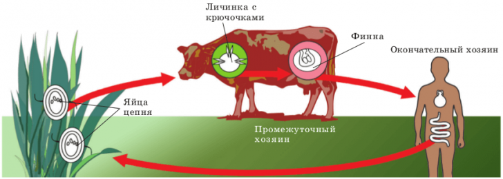 zhiznennyj-cikl-bychego-cepnya