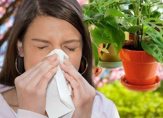 Какие домашние цветы могут вызвать аллергию