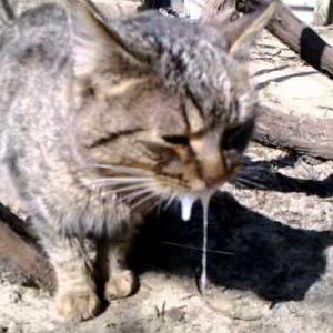 Болезнь бешенство кот