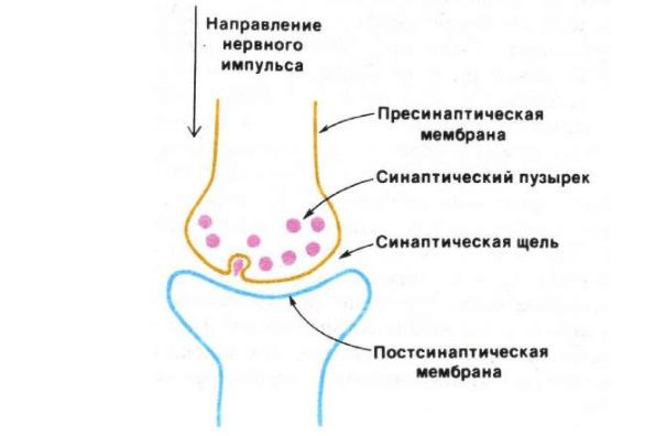Строение синапса