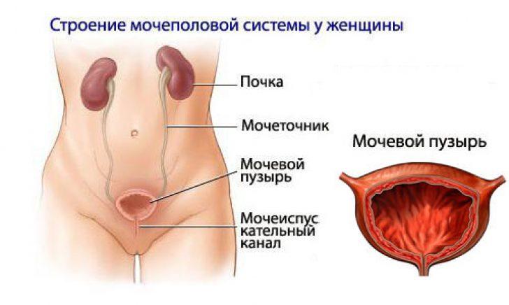 Влагалище гинекология мочеполовой аппарат