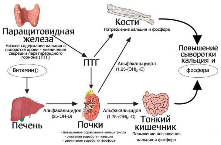 Paratireoidnyj_gormon_parashhitovidnoj_zhelezy (1)
