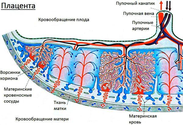 Stepen-zrelosti-platsentyi