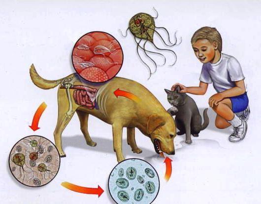 Как можно заразиться лямблиозом