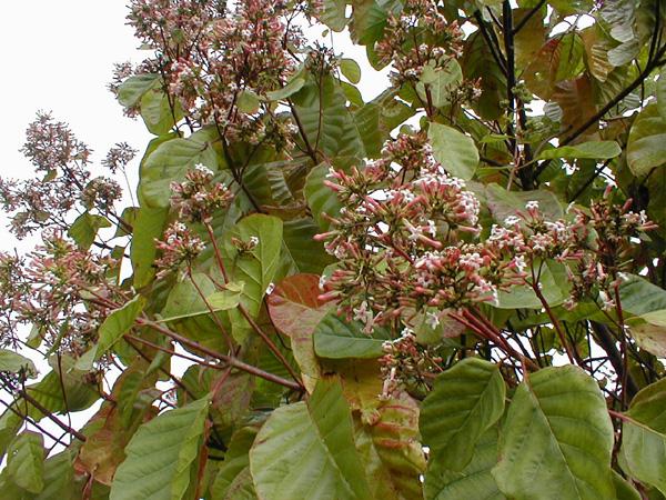 Cinchona_pubescens