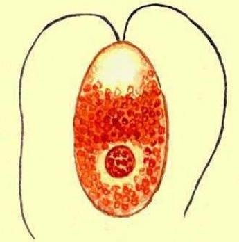 Амебиаз - симптомы, лечение, профилактика