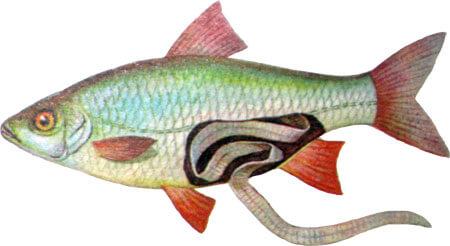 glisty v ribe