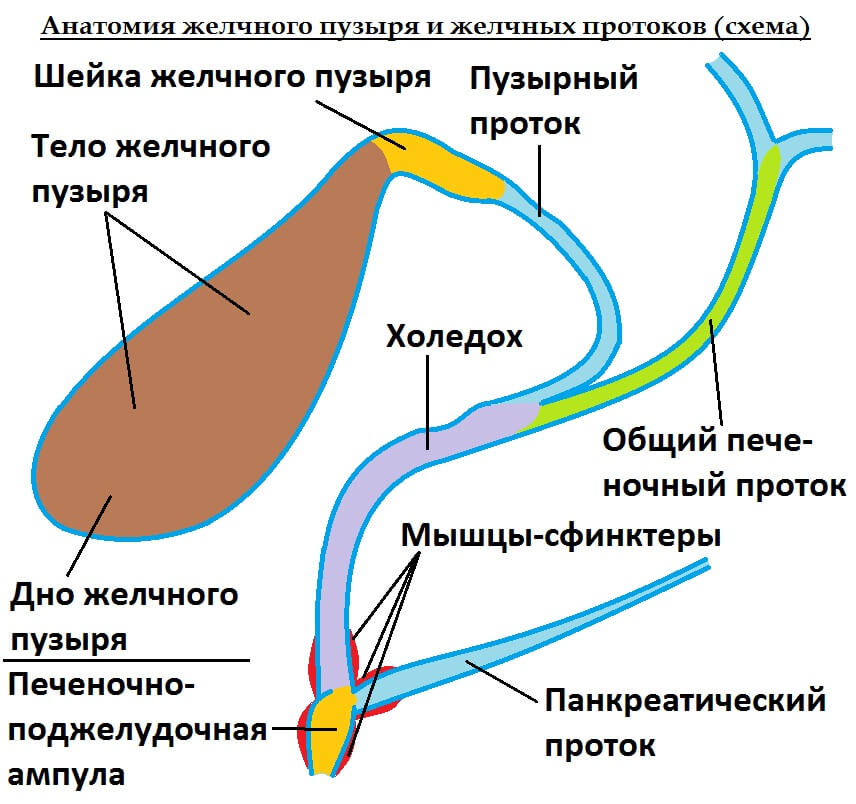 Желчных протоков картинки