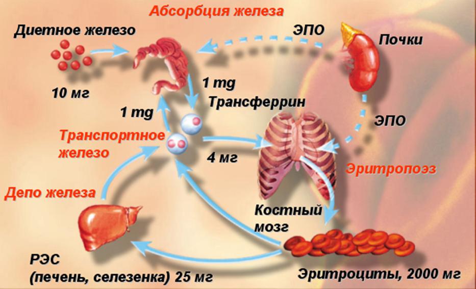 Препараты железа гипохромной анемии у детей